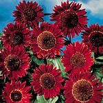 Sunflower Ruby Sunset Seeds