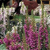 Digitalis F1 Camelot (Foxglove) Mixed 12 Jumbo Ready Plants
