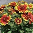 Gaillardia Goblin 12 Jumbo Ready Plants