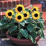 Sunflower Choc Chip Seeds