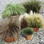 Coloured Grass Collection 12 Jumbo Ready Plants