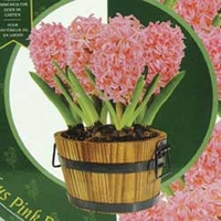Hyacinth Pink Pearl in Barrel Planter 5 Bulbs