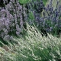 Scented Lavender Collection 6 Jumbo Ready Plants
