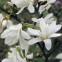 Magnolia Stellata 1 Tree 9cm Pot