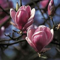 Magnolia Soulangiana 1 Tree 9cm Pot