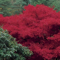 Japanese Maple (Acer Palmatum) 3 Trees Bare Root