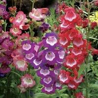 Penstemon Collection 6 Jumbo Ready Plants