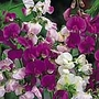 Sweet Pea Everlasting (Latifolius Mix) Seeds (Lathyrus odoratus)