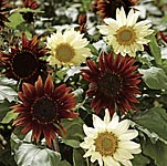 Sunflower Total Eclipse Seeds