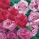 Garden Scented Pinks Collection 6 Jumbo Ready Plants