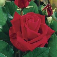 Hybrid Tea Rose Ena Harkness 1 Plant Bare Root