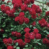 Climbing Rose Etoile de Hollande 1 Plant Bare Root