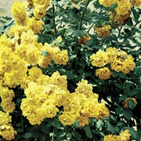 Climbing Rose Golden Climber 1 Plant Bare Root