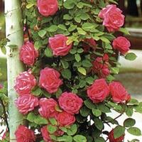 Climbing Rose Pink Heidelberg 1 Plant Bare Root
