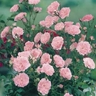 Patio Rose Pink 1 Plant Bare Root