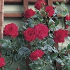 Patio Rose Red 1 Plant Bare Root