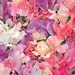 Sweet Pea Seeds - Sunset Pastel Mix