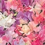 Sweet Pea Seeds - Sunset Pastel Mix