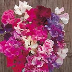 Sweet Pea New Horizons Mix Seed
