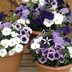 Petunia Frenzy Grand Rapids - 60 Mixed Plug Plants