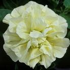 Petunia Tumbelina Susanna - 5 Plug Plants