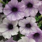 Petunia Blue Vein - 5 Plug Plants