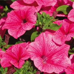 Petunia Hot Pink - 5 Plug Plants