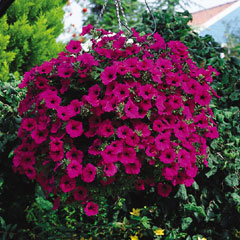 Petunia Purple - 5 Plug Plants