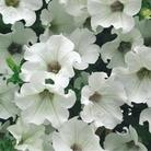 Petunia White - 5 Plug Plants