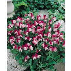 Sweet Pea Cupid - 5 Plug Plants