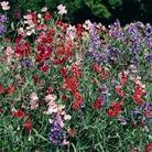 Sweet Pea Royal Mixed - 5 Plug Plants