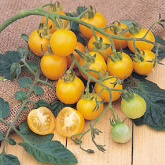 Tomato Sunbaby - 5 Plug Plants