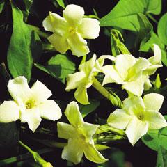 Jasmine Clotted Cream - 5 Plug Plants