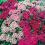 Sweet William Pinocchio Seeds (Dianthus barbatus)