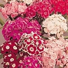Sweet William Perfume Mix Seeds