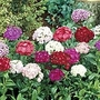 Sweet William F1 Noverna Forumula Mix Seeds