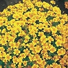 Tagetes Golden Gem Seeds