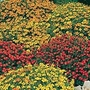 Tagetes Starfire Mix Seeds