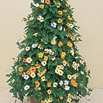 Thunbergia alata Susie Mix Seeds