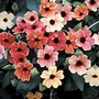 Thunbergia alata African Sunset Seeds (Black-eyed Susan)