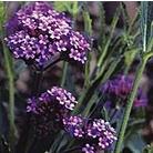 Verbena bonariensis Purple Elegance Seeds