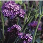 Verbena bonariensis Purple Elegance Seeds