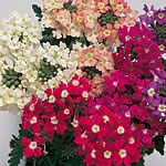 Verbena Candycane Mix Seeds