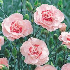 Pinks Doris - 5 Plug Plants