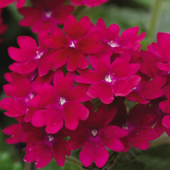 Verbena Temari Burgundy - 5 Plug Plants