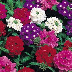 Verbena Quartz - 60 Mixed Plug Plants