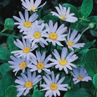 Marguerite Daisy Blue - 5 Plug Plants