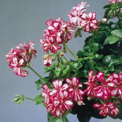 Ivy Leaf Geranium Mexicana - 5 Plug Plants