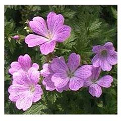 Hardy Geranium Claridge Druce - 5 Plug Plants