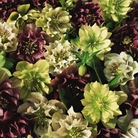 Hellebore Double Queen - 5 Plug Plants